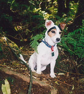 Mindy the Jack Russell